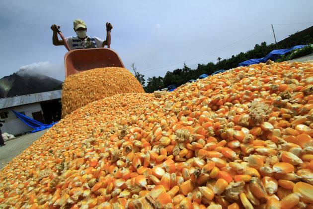Sinaloa es líder nacional en rendimiento de cosechas de maíz.
